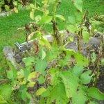 Фитофтороз — главный враг картофеля