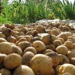 Влияние урожайности и экологической пластичность на урожай картофеля
