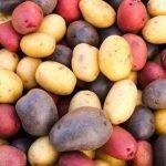 Як правильно вибрати сорт картоплі