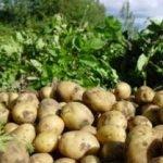 Розвиток картоплі і її особливості