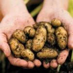 Вирощування мікробульб картоплі (частина 2)