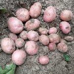 """Компания """"Овощной дом"""" посетила поля двух самых крупных  картофельных хозяйств в Житомирской области."""