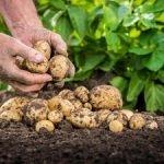 Основні чиники високого і якісного врожая картоплі.